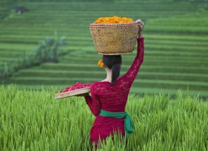 Woman carrying basket of flowers in rice terrace